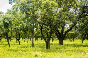 Green Ghana Project: Use same energy to protect existing trees – Minority